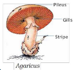 fungi biology notes