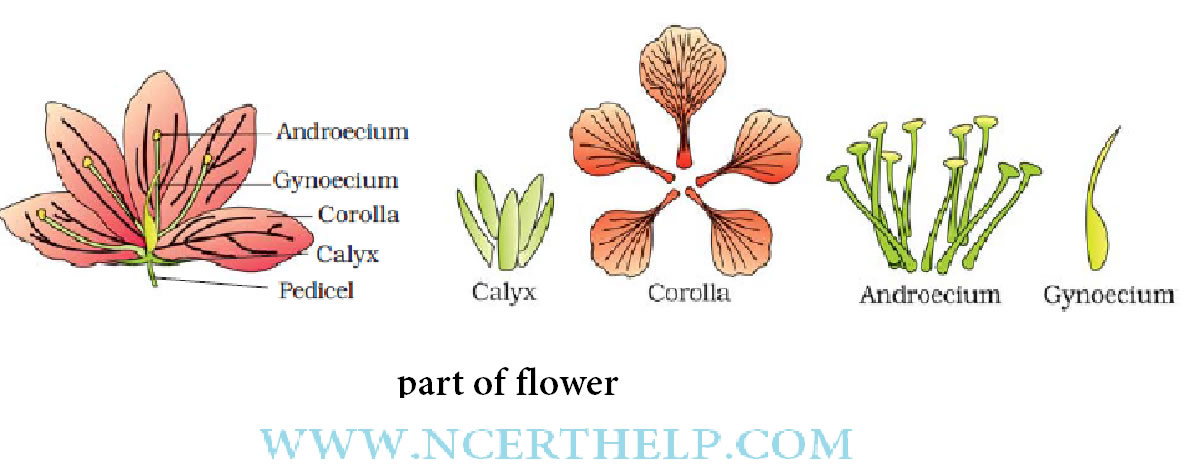 Of Flowering Plants Class 11 Notes Download In Pdf