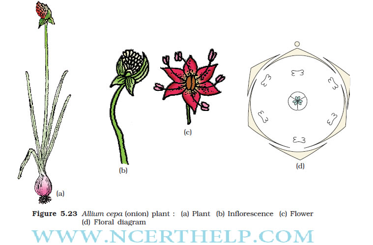 Morphology of flowering plants class 11 notes download in pdf liliaceae lily family ccuart Gallery