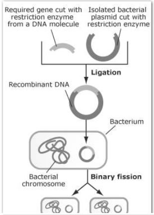 Steps in producing recombinant DNA