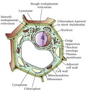 Draw a labelled diagram of a plant cell.