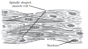 diagrammatically show the difference between the three types ofq no   diagrammatically show the difference between the three types of muscle fibres